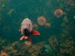 Ryba pływająca w akwarium